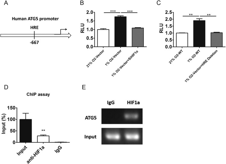 <t>HIF1α</t> could regulate ATG5 by direct binding to the promoter of ATG5. A, The schematic view of ATG5 genomic structure. The location of HIF1α responsive element (HRE) was shown. B, The transcriptional activity of reporter contain ATG5's promoter were analyzed in PC-3 cells transfected with nonsense control or si-HIF1αexposed to normoxia or 1% O 2 for 24 h. C. The transcriptional activity of reporter contain wild type or HRE deletion ATG5's promoter were analyzed in PC-3 cells exposed to normoxia or 1% O 2 for 24 h. D–E, ChIP analysis of ATG5 promoter was performed by using anti-HIF1α antibody in PC-3 cells exposed to 1% O 2 for 24 h. RT-PCR (D) and PCR (E) were performed with primers specific to the functional HRE in ATG5 promoter. Means ± s.e.m are shown.* P