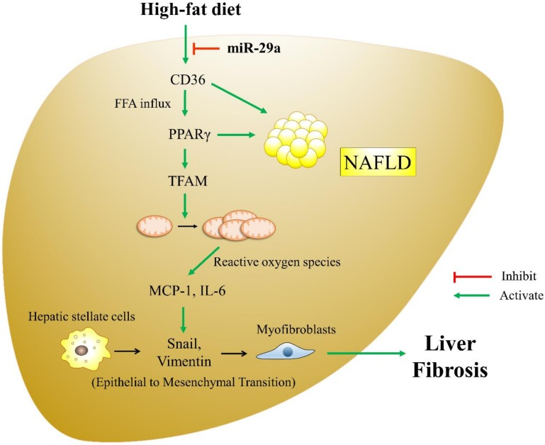 The proposed model of miR-29a exerting a protective effect by targeting CD36 and modulating downstream signaling pathway in HFD-elicited liver fibrosis. HFD causes considerable fatty acid influx into the liver, leading to the up-regulation of PPARγ, TFAM, and mtDNA content. MtDNA and mitochondrial-derived reactive oxygen species can initiate an inflammatory response, leading to the release of such pro-inflammatory cytokines as MCP-1 and IL-6. Chronic inflammation is a stimulator for EMT, which is characterized by the up-regulation of typical makers like snail and vimentin. Activation of EMT facilitates the transformation of hepatic stellate cells to myofibroblasts, contributing to the progression of liver fibrosis. Of particular note, miR-29a can exert an anti-NAFLD effect by targeting CD36 3'UTR and repressing its expression, which may decrease intracellular fatty acid influx, subsequently reducing the up-regulation of PPARγ, TFAM, and mtDNA content, modulating downstream inflammatory response and EMT, and ultimately mitigating liver fibrosis.