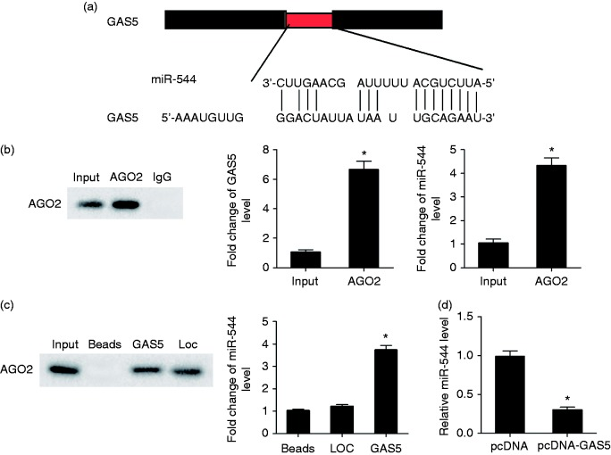 Regulation role of lncRNA GAS5 in miR-544. (a) Bioinformatics software predicted binding sites between GAS5 and miR-544. (b) AGO2 Ab was used for RNA immunoprecipitation. AGO2 protein level was detected by IP-Western, and GAS5 and miR-544 were detected by qRT-PCR. GAS5 and miR-544 were enriched in AGO2. (c) AGO2 in GAS5 pull-down complex was detected by Western blot, and miR-544 enrichment in GAS5 pull-down complex was detected by qRT-PCR. Loc, negative control of GAS5 pull-down complex. (d) NK92 cells were transfected with lenti-NC or lenti-GAS5. Compared with the lenti-NC group, miR-544 level was significantly decreased in lenti-GAS5 group. * P