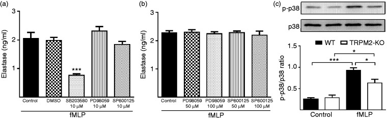 TRPM2 deficiency decreases fMLP-induced elastase release in neutrophils by decreasing p38 MAPKs phosphorylation. (a) Effects of MAPKs inhibitors on extracelluar elastase release in neutrophils in response to fMLP stimulation. WT BMNs were pre-treated with specific inhibitors of the MAPKs (p38 MAPK inhibitor SB203580 (10 µM), Erk inhibitor PD98059 (10 µM), Jnk inhibitor SP600125 (10 µM), or DMSO for 30 min. WT BMNs were then stimulated with 100 nM fMLP for 10 min at 37°C. Elastase concentration in the supernatant was measured by elastase assay kit ( n = 4 per group). *** P