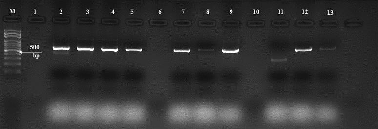 Agarose gel electrophoresis of some RT-PCR-tested nasal swabs from cattle for FMDV in 2016 in Eastern Saudi Arabia. Some RT-PCR results of selected specimens collected from the nasal swabs of FMDV-infected animals. Lane (M) DNA marker, (100 bp); lane (1) empty well; lanes (2–13) purified PCR products of the partial FMDV VP-1 gene. The positive amplicons are 641 bp in length.