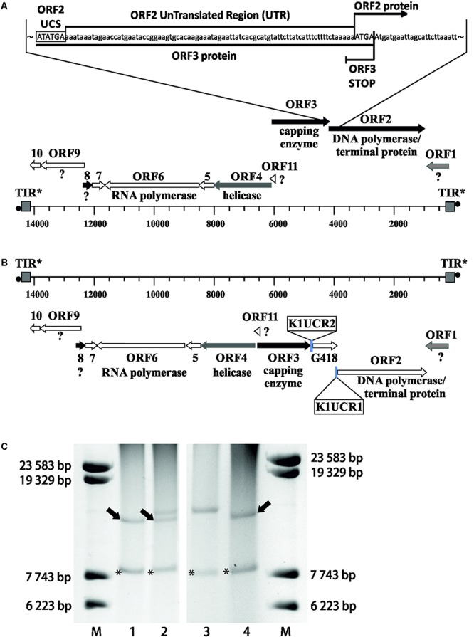 Precise manipulation of pGKL VLEs in vivo revealed an essential role of pGKL promoters in mRNA capping and non-template-based 5′ polyadenylation. (A) A closer view of the native pGKL2 region subjected to homologous recombination with a PCR cassette depicted in Supplementary Figure S5 shows a tightly packed VLE genome. The 3′ end of the K2ORF3 coding region overlaps the K2ORF2 promoter, 5′ UTR, and the first four nucleotides of the K2ORF2 coding region. The pGKL2 VLEs displayed in (B,C) are in the reverse orientation of those in Figure 1 . Shades of gray indicate the degree of transcript capping, as shown in Figure 1 . (B) A PCR cassette containing an antibiotic resistance gene (G418) under the control of the ORF2 promoter from pGKL1 ( K1UCR2 ) and the ORF1 promoter from pGKL1 ( K1UCR1 ) ( Supplementary Figure S5 ) was inserted into the K2ORF2 promoter region by homologous recombination in vivo . The resulting VLE, pRKL2-1, contains two genes, aminoglycoside 3′-phosphotransferase (coding for G418 resistance) and K2ORF2 , that are artificially controlled by the pGKL1 promoters K1UCR2 and K1UCR1 , respectively. Shades of gray indicate the degree of transcript capping, as shown in Figure 1 . The 5′ RACE results of pRKL2-1-encoded mRNAs are summarized in the text and in Supplementary Table S7 . (C) Electrophoretic analysis of pGKL VLEs in K. lactis clones. M, lambda DNA/ Eco 130I ( Sty I) marker (Fermentas); lanes 1 and 4, native pGKL VLEs from K. lactis IFO1267 (pGKL1 [8874 bp] is labeled with an asterisk, and pGKL2 [13447 bp] is labeled with an arrow); lane 2, linear VLEs purified from K. lactis IFO1267 carrying both the recombinant (higher MW) and wild-type pGKL2 VLEs; lane 3, linear VLEs purified from K. lactis IFO1267 containing the recombinant pRKL2-1 VLE (14353 bp). The shorter wild-type pGKL2 was lost after cultivation for ≈60 generations in selective medium containing G418.