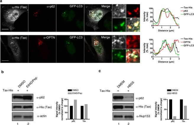 <t>p62</t> does not allow Tax autophagic degradation at the steady-state. ( a ) HeLa cells stably expressing GFP-LC3 were transfected with Tax-His and analyzed by confocal microscopy after staining with His- (white) and p62- or OPTN-specific (red) antibodies. Representative images are shown. Tax, p62 or OPTN and GFP-LC3 signals were quantified along the segment represented on the merge panel and plotted on the histogram. Scale bar = 10 μm. ( b , c ) HeLa cells transiently expressing Tax-His were treated with lysosomal inhibitors ( b , E64D/Pep.) or starved ( c , HBSS) before lysis, western blot analyses and quantification. Full-length blots are presented in Supplementary Fig. S4 . Blots and graphs show results representative of at least 3 experiments.