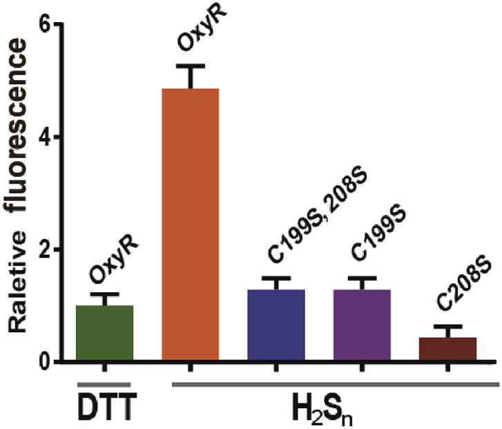 In vitro transcription-translation analysis of H 2 S n activation of OxyR and its mutants. Purified OxyR and its mutants were treated with DTT to ensure their thiols were in the reduce form; The proteins were then treated with H 2 S n to generate H 2 S n modified protein. The in vitro transcription-translation system contained P trxC -mKate DNA fragment (200 ng) and DTT-reduced or H 2 S n -treated OxyR (500 ng), and the expressed mKate was analyzed with the fluorescence photometer Synergy H1. (n ≥ 3 for each group) Data information: Data are presented as mean ± SEM.