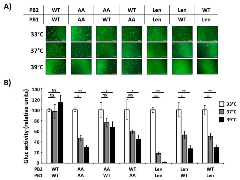 Contribution of PB2 and PB1 mutations of PR8/AA and PR8/Len in the viral polymerase activity at different temperatures. HEK293T cells (12-well plate format, 4 × 10 5 cells/well, triplicates) were transiently co-transfected with 250 ng of the indicated combinations of ambisense pDZ expression plasmids encoding the PB2 and PB1 from PR8/WT, PR8/AA and PR8/Len together with the pDZ encoding PA and NP PR8/WT proteins; together with 500 ng of the hPol-I-GFP ( A ) and -Gluc ( B ), and 100 ng of SV40 Cluc to normalize transfection efficiencies. After transfection, cells were placed at 33 °C, 37 °C, or 39 °C, and reporter gene expression was evaluated 24 h later by GFP imaging ( A ) and Gluc expression ( B ). Gluc activity was normalized to that of Cluc. Data represent means and SDs of the triplicates. Normalized reporter expression is relative to that in the absence of pDZ NP plasmid. Data were represented as relative activity considering the activity of each polymerase complex at 33 °C as 100%. *, P