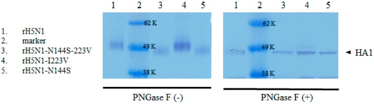 Verification of 144N-glycosylation by Western blotting. Recombinant viruses untreated and treated with PNGase F enzyme were denatured and separated by SDS-PAGE. Transferred membranes were incubated with rabbit anti-influenza A <t>H5N1</t> (A/Vietnam/1194/2004) HA <t>IgG,</t> followed by goat anti-rabbit IgG HRP-conjugated secondary antibody. Then, HRP was developed by TMB substrate. HA proteins of rH5N1 and rH5N1-I223V had 144N-glycan, and they had higher molecular weight than rH5N1-N144S and rH5N1-N144S-I223V in the absence of PNGase F enzyme treatment (−). However, the difference disappeared after treatment of PNGase F enzyme (+).