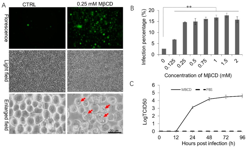 The effects of low-dose methyl-beta-cyclodextrin (MβCD) incubation on BmNPV infection in Sf21 cells. ( A ) Representative images of fluorescence or polyhedrin expression in mock-treated or pretreated Sf21 cells infected by BmNPV. Sf21 cells were pretreated with 0.25 mM MβCD or PBS (CTRL) for 30 min and subsequently infected with vBmBac-ph-egfp for 2 h at a multiplicity of infection (MOI) of 30 and observed at 72 h p.i. Red arrows show the occlusion bodies. ( B ) Flow cytometry analysis of BmNPV infectivity in Sf21 cells in the presence of different concentrations of MβCD. Cells were pretreated with the indicated concentrations of MβCD for 30 min and then infected with vBmBac-ph-egfp (MOI = 30). Viral infectivity was measured at 24 h p.i by analyzing the percentage of cells expressing the reporter gene egfp . (** p
