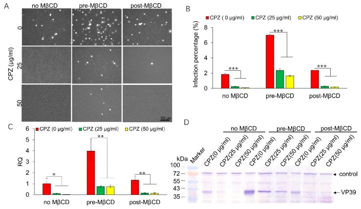 Effects of CPZ on BmNPV infection in Sf21 cells. Sf21 cells were treated with CPZ for 30 min and then infected with vBmBac-ph-egfp at a MOI of 50 for 2 h in the mock-treated group or pretreated with 0.25 MβCD for 1 h (no MβCD, pre-MβCD) or post-treated with MβCD after virus infection (post-MβCD). At 72 h p.i., the cells were harvested. ( A ) Representative images of fluorescence expression in Sf21 cells infected with BmNPV. Bars, 100 µm. ( B ) Infection percentage of cells treated with CPZ and MβCD assessed by FCM. ( C ) Relative transcription of lef-3 in CPZ- and MβCD-treated cells. The gene transcription in the 0 µg/mL MβCD treatment condition was set as 1. ( D ) VP39 expression in Sf21 cells treated with increasing concentrations of CPZ in the presence or absence of MβCD using an anti-BmNPV VP39 primary antibody. * p