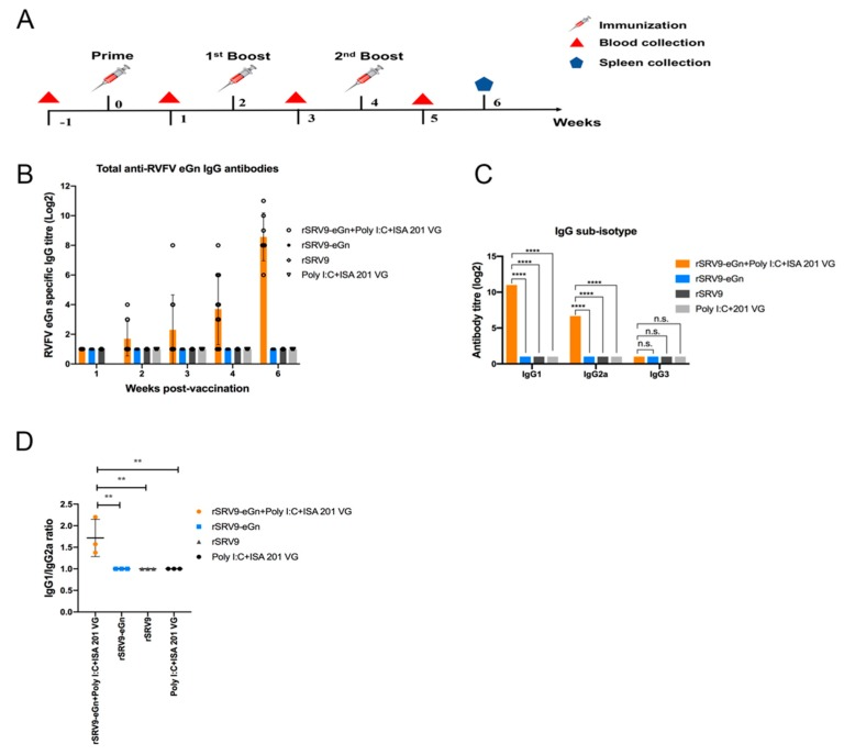 Analysis of the humoral response against RVFV eGn. BALB/c mice were immunized IM in the gastrocnemius muscle with either 10 7 TCID 50 of BPL-inactivated virus supernatant with or without poly (I:C) and ISA 201 VG adjuvants or 10 7 TCID 50 of rSRV9 vector and boosted two times with the same amount on days 14 and 28 ( A ). ELISA analysis of total IgG against RVFV eGn beginning at one week after the first immunization and continuing until two weeks after the last booster immunization ( B ). Serum antibody titres of IgG subtype (IgG1, IgG2a and IgG3) antibodies against RVFV eGn at two weeks after the last booster immunization ( C ). Data are shown as the mean ± SD and were analysed by two-way ANOVA. The ratios of matched IgG1/IgG2a antibody titres are plotted, and one-way ANOVA was applied to check for variance differences ( D ) (* P