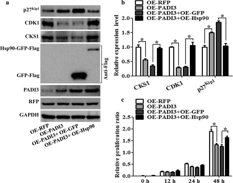 Function of Hsp90 on PADI3 regulated CKS1 expression. RFP stable expressing HCT116 cells as the negative control, PADI3 stable expressing HCT116 cells as the positive control, Hsp90 overexpression plasmid was transfected into the PADI3 stable expressing HCT116 cells to study the function of Hsp90 on PADI3 regulated CKS1 expression, GFP overexpression plasmid was transfected into the PADI3 stable expressing HCT116 cells as the negative control group. a Western blot was used to measure the expression level of CKS1, CDK1 and p27kip1 after Hsp90 transfected into PADI3 stable expressing HCT116 cells; b qRT-PCR was used to verify the results of a . c CCK8 analysis was used to study the function of Hsp90 in the regulating of cell proliferation in PADI3 stable expressing HCT116 cells. GAPDH was selected as the internal control, *indicates p