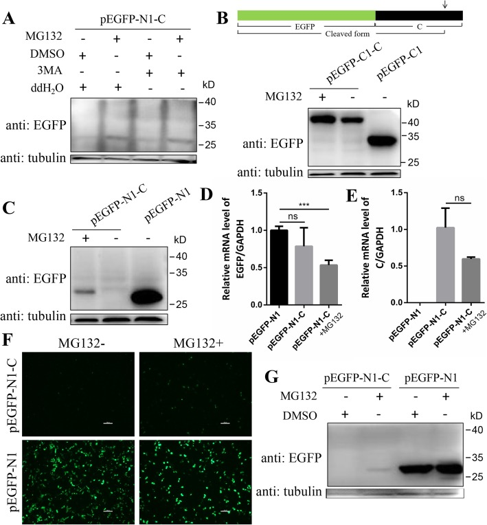MG132 upregulated the level of EGFP-tagged C protein. a PK-15 cells were transfected with plasmid pEGFP-N1-C followed by treatment of 10 μM MG132 or 5 mM 3-MA or both of them for 16 h. DMSO or ddH 2 O were used as controls. At 20 hpt, cells were lysed and subjected to Western blot analysis with the indicated antibodies. Tubulin was used as a control. b Schematic representation of EGFP-C protein and its cleaved form. Black frame represents C protein and green frame represents EGFP protein. The arrow indicates the cleavage site of C protein by SPP. PK-15 cells were transfected with plasmid pEGFP-C1-C and were treated with or without MG132 (10 μM). Empty vector pEGFP-C1 was used as a control. Cells were lysed at 20 hpt and Western blot was performed with the indicated antibodies. c PK-15 cells were transfected with plasmid pEGFP-N1-C and treated with or without MG132 as described above. Empty vector pEGFP-N1 was used as a control. Western blot was performed as described above. Relative mRNA levels of EGFP ( d ) and C ( e ) in cells were detected by qRT-PCR. Data was analyzed by Student's t-test. f 3D4/2 cells were transfected with plasmid pEGFP-N1-C or pEGFP-N1 followed by treatment of 10 μM MG132 or same volume of DMSO for 16 h. The fluorescence in cells was observed at 20 hpt. Scale bar, 100 μm. g Cells in ( f ) were then lysed and analysed by Western blot with the indicated antibodies. Protein marker is shown on the right. Data in all bar plots are shown as mean ± SD and representative of 3 biological replicates. ***, P