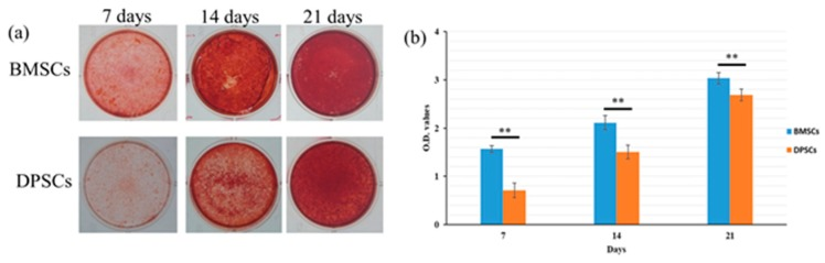 Comparison of osteogenic differentiation capacities of BMSCs and DPSCs. ( a ) Mineral depositions of BMSCs and DPSCs were detected by alizarin red staining following 7, 14, and 21 days of osteogenic induction. ( b ) The BMSCs showed a higher osteogenic differentiation ability than the DPSCs with statistically significant differences at different time points (** p
