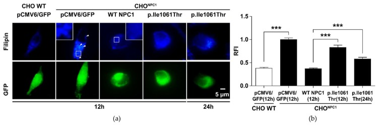 Reduced cholesterol clearance in NPC1 -deficient Chinese hamster ovary (CHO) cells expressing variant p.Ile1061Thr NPC1 . CHO NPC1 cells develop a phenotype of cholesterol accumulation in lysosome-like storage organelles (LSOs). This phenotype can be corrected by gene transfer of wild type NPC1 cDNA using liposome-mediated cell transfection. ( a ) Fluorescence microscopic images. The blue staining visualizes cellular filipin-bound cholesterol. The arrowheads indicate LSOs. The green signal shows positively transfected cells that could be used for filipin quantification by either indicating GFP signal (control vector transfection) or NPC1-GFP fusion protein signal. ( b ) Quantification of the positive cholesterol signal. The y-axis shows the relative fluorescence intensity (RFI) signal as arbitrary units. Values are shown as mean ± SD. Asterisks indicate statistical significance: *** p