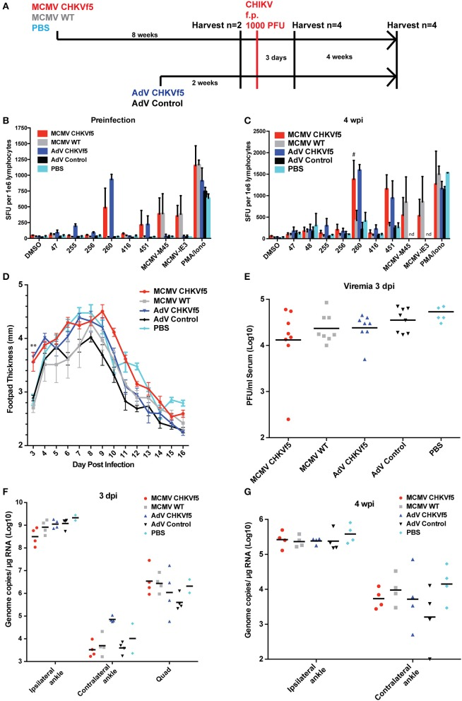 "CHKVf5 vaccines did not protect mice against a footpad CHIKV challenge. (A) Mice were administered MCMV-CHKVf5, MCMV WT, or PBS i.p. for 8 weeks and then analyzed by ELISpot for the presence of T cell responses or challenged. Separate groups of mice were vaccinated with AdV-CHKVf5 or AdV-Control for 2 weeks. (B) Splenocytes from two mice per group were collected and IFNγ ELISpot assays were performed by stimulating the splenocytes with CHIKV peptides incorporated in the CHKVf5 fusion gene. (C) IFNγ ELISpot assay performed using splenocytes from mice vaccinated with the indicated vaccine and challenged with CHIKV SL15649 in the footpad (""#"" indicates too numerous to count; ""nd"" indicates not done). (D) Footpad thickness was measured using calipers from 3 to 16 dpi. (E) At 3 dpi, mice were bled and their serum was titered by limiting dilution plaque assay on confluent monolayers of Vero cells. (F) At 3 dpi, viral RNA extracted from ipsilateral and contralateral ankles and ipsilateral quadriceps was quantified by qRT-PCR. (G) At 4 wpi, viral RNA was extracted from ipsilateral and contralateral ankles and viral RNA levels were measured by qRT-PCR."