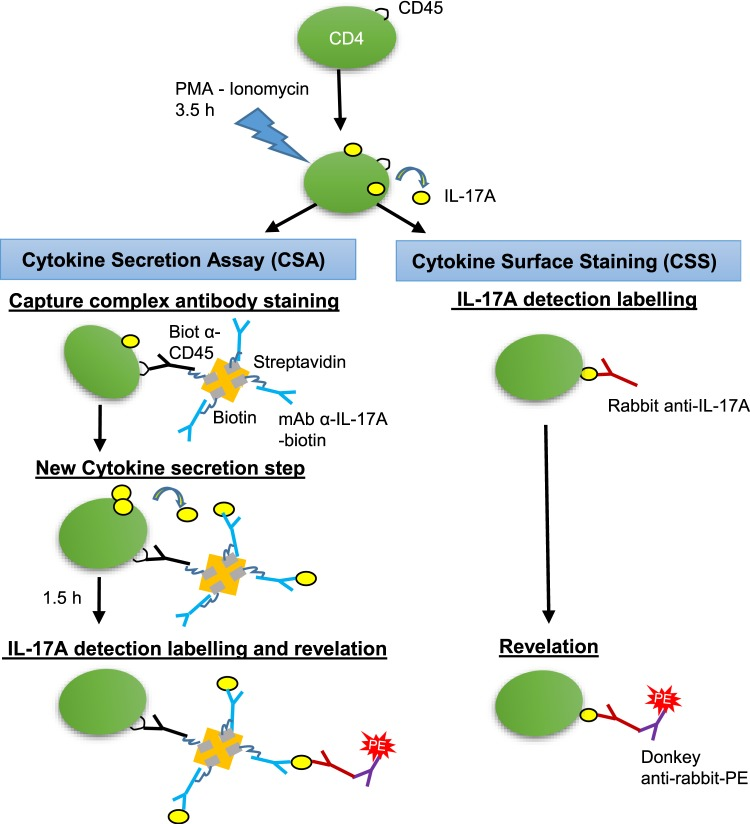 Schematic representation of the assays used for surface labelling of IL-17A secreting cells. In the cytokine secretion assay (CSA), after stimulation with PMA/ionomycin, the cells start to secrete cytokines for 3.5 h. Then the cells are allowed to bind the capture complex (Capture complex antibody staining) for 15 min before dilution and incubation for 1.5 h under agitation (New cytokine secretion step). The secreted cytokine is captured by antibodies to IL-17A that are maintained at the surface of the cell by antibodies to CD45. The capture complex comprises the two types of biotinylated antibodies linked by a streptavidin molecule. After washing, rabbit anti-bovine IL-17A antibodies are added that bind to the captured IL-17A (IL-17A detection labelling and revelation). Then the cells are washed and the binding of rabbit antibodies revealed with a secondary antibody conjugated to phycoerythrin. Alternatively, in the cytokine surface staining assay (CSS), after washing at the end of the 3.5 h stimulation, cells are incubated with rabbit antibodies to IL-17A, washed, and the binding of rabbit antibodies to surface-associated IL-17A is revealed with a secondary antibody conjugated to phycoerythrin.