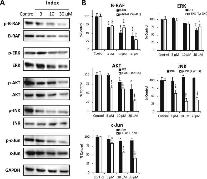 Inhibition of phosphorylated RAF/ERK, AKT, SAPK/JNK and c-Jun by Indox. ( A ) After treatment with indicated concentration of Indox for 24 h, low levels of p-B-RAF (Ser446), p-ERK (Tyr204), p-AKT (Thr308), p-SAPK/JNK (Tyr183) and p-c-Jun (Thr91) in the murine PDAC cell line (#146) were determined by immunoblotting. ( B ) Quantification of data presented in A . * P