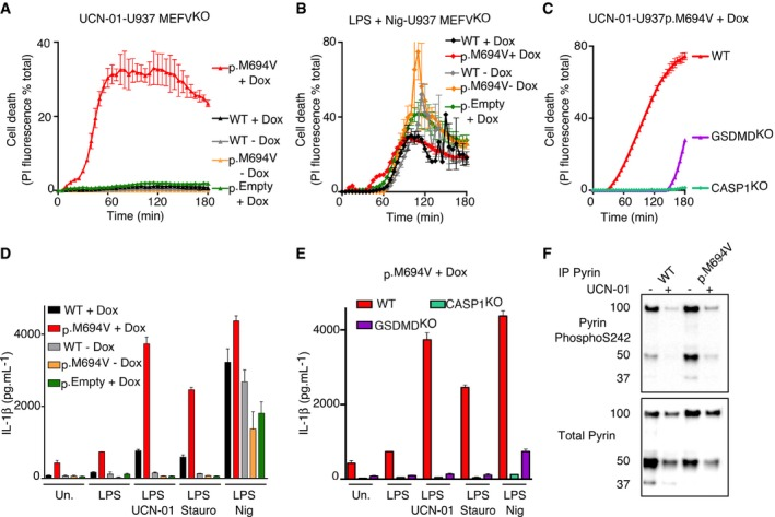 Expression of p.M694V <t>Pyrin</t> is necessary and sufficient to confer to PKC inhibitors the ability to activate the inflammasome U937 cells of the indicated genotype and expressing the indicated plasmids were treated with (A, C) UCN‐01 or LPS + nigericin (Nig). Propidium iodide (PI) influx/fluorescence was monitored every 5 min for 3 h. PMA‐differentiated U937 cells of the indicated genotype and expressing the indicated plasmids were primed with LPS for 3 h and treated with UCN‐01, staurosporine (Stauro) or nigericin as indicated. IL‐1β level in the supernatant was quantified by ELISA at 3 h post‐treatment. Pyrin <t>S242</t> phosphorylation was assessed by Western blot in the indicated cell lines with and without UCN‐01 treatment for 15 min. Data information: (A–C) One experiment representative of three independent experiments is shown. Mean and standard deviations from two biological replicates are shown. (D, E) Mean and standard deviations from three independent experiments are shown. Source data are available online for this figure.