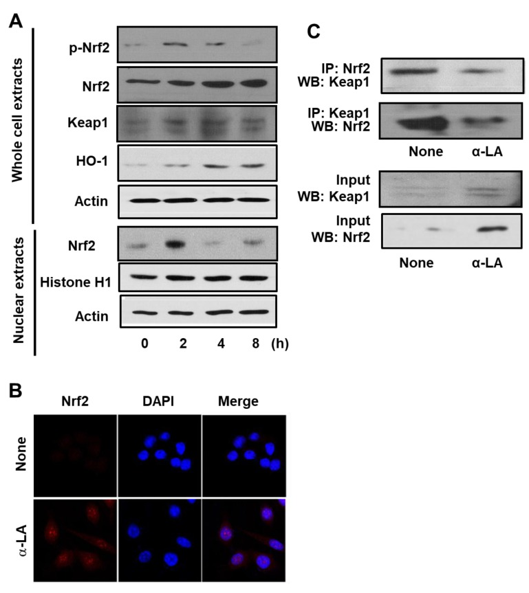 """Determination of the impact of α-LA on the levels of activated Nrf2, KEAP 1-bound Nrf2, KEAP 1, and HO-1 in AGS cells. ( A ) Western blots of whole-cell extracts (upper panel) or nuclear extracts (bottom panel) with actin serving as the loading control and histone H1 serving as the index for the nuclear extracts. The cells were treated with 5 μM α-LA for the indicated time periods. ( B ) Confocal microscope images of AGS cells treated with 5 μM α-LA for 2 h followed by immunofluorescence staining of the fixed cells. Nrf2 was visualized using fluorescein rhodamin-conjugated anti-rabbit IgG antibody (red) with DAPI counter staining (blue) of the same field. """"None"""" refers to the cells treated with the vehicle for α-LA (0.5 M ethanol) alone. ( C ) Western blots of whole-cell extracts (lower panel) and whole-cell extract-derived immunoprecipitates obtained using the anti-Nrf2 and anti-KEAP 1 antibodies for precipitation (IP) and visualization (WB; western blot analysis) as indicated (upper panel). The cells were treated with 5 μM α-LA for 2 h. Input is used as the control for protein expression. """"None"""" refers to the cells treated with the vehicle for α-LA (0.5 M ethanol) only."""