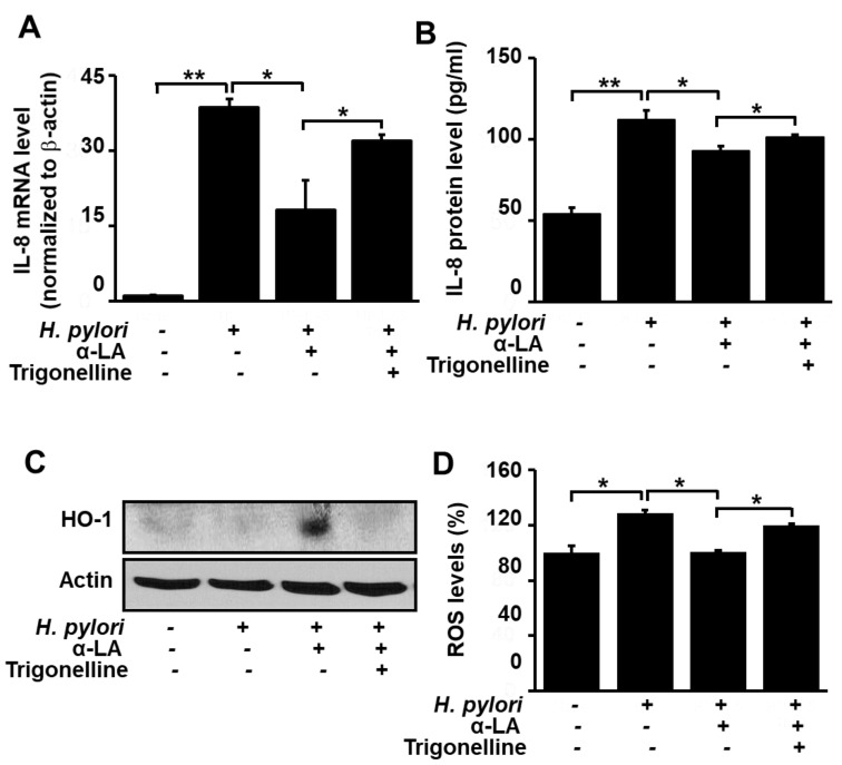 Determination of the impact of the Nrf2 inhibitor trigonelline on IL-8 gene expression and ROS levels in H. pylori -infected AGS cells treated with α-LA. The cells were treated with 5 μM α-LA and 1 μM trigonelline for 8 h, and then infected with H. pylori . ( A ) The amount of IL-8 mRNA determined by real-time PCR analysis and normalized to cellular actin mRNA. ( B ) The amount of IL-8 in the culture medium determined by ELISA. Data are expressed as the mean ± S.E. of three different experiments. ( C ) Western blot analysis for whole-cell extracts developed with anti-OH antibody. Actin was used as a loading control. ( D ) Cellular ROS levels determined by measuring the level of fluorescent DCF. The level of intracellular ROS is expressed as the relative increase. The value for cells without H. pylori infection in the absence of α-LA is set as 100%. * p