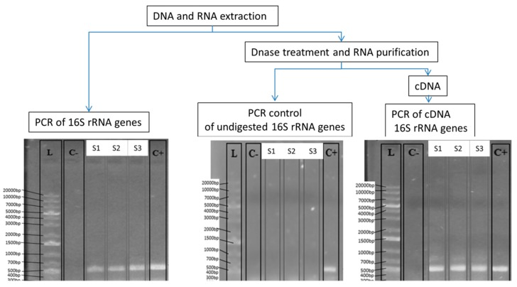 Workflow of the molecular approach (DNA- and RNA-based) used to characterize the bacterial community and the active bacterial fraction in the studied RTE salads. Electrophoresis shows the PCR and RT-PCR results of the 16S rDNA/rRNA. PCR control of undigested 16S rDNA genes is shown. C+: positive control of PCR and RT-PCR; C-: negative control of PCR and RT-PCR; L: ladder indicating the size (bp). Lanes marked as S1, S2, and S3 correspond to the analyzed RTE samples.
