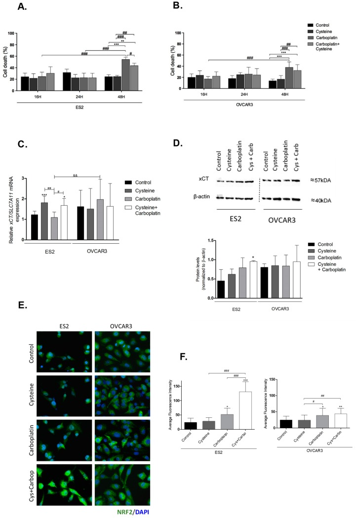 Putative involvement of cystine/glutamate antiporter system Xc (xCT) and nuclear factor erythroid 2-related factor 2 (Nrf2) in the protective effect of cysteine upon platinum salt exposure. ES2 and OVCAR3 cell lines were incubated with cysteine, carboplatin, and a combination of carboplatin with cysteine for 16 h ( A,B ). Cell death was determined by flow cytometry using annexin V fluorescein isothiocyanate (FITC) and propidium iodide (PI) staining. The xCT /soluble carrier protein 7A11-encoding gene ( SLC27A11 ) messenger RA (mRNA) expression was analyzed by RT-qPCR ( C ). Hypoxanthine–guanine phosphoribosyltransferase (HPRT) was used as the housekeeping gene. The xCT protein levels were assessed by Western blotting; β-actin was used as the house-keeping protein ( D ). Nrf2 protein levels were measured by immunofluorescence ( E,F ). Results are shown as means ± SD; * p ≤ 0.05, ** p ≤ 0.01, *** p ≤ 0.001 ( A – D , and F ), and represents statistical significance in relation to control conditions, # p ≤ 0.05, ## p ≤ 0.01, ### p ≤ 0.001 represents statistical significance between conditions, and p ≤ 0.01 represents statistical significance between conditions among cell lines ( A – D , and F ).