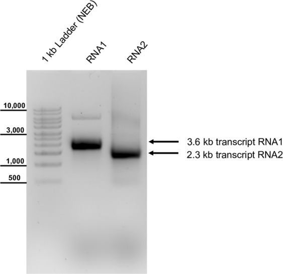 Synthetic RNA of the molecular CBPV clone. Plasmid DNAs were linearized with Sca I (RNA1) or Sac II (RNA2) and transcribed using SP6 polymerase. The synthetic RNA was injected into honey bee pupae to start the cycle of infection. Note that a DNA ladder is used for size estimation (left side).