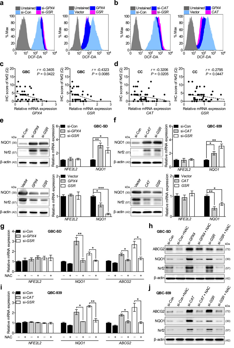 GPX4, CAT, and GSR regulate Nrf2 protein expression through ROS. (a and b) Representative FACS profile of ROS levels, which was measured by H2DCFDA staining, in GBC-SD (a) and QBC-939 (b) when GPX4, CAT, or GSR was overexpressed or knockdown. (c and d) Analysis of correlation between the protein level of Nrf2 and the mRNA level of GPX4 (c, left) or GSR (c, right) was performed in 36 GBC tissues, and the mRNA level of CAT (d, left) or GSR (d, right) was performed in 52 CC tissues. Spearman's correlation was used. (e and f) Immunoblot and qPCR analysis of Nrf2, and it target NQO1 from GBC-SD transfected with scrambled siRNA (si-Con) or siRNA (si- GPX4 and si- GSR ) and empty vector, GPX4 , or GSR (e), and from QBC-939 transfected with si-Con or siRNA (si- CAT and si- GSR ) and empty vector or CAT or GSR (F). n = 3; Bar, SEM. (g and i) qPCR analysis of NFE2L2, NQO1 and ABCG2 expression in GBC-SD (g: si-Con, si- GPX4 and si- GSR ), and in QBC-939 (i: si-Con, si- CAT and si- GSR ) cells cultured in standard media supplemented with or without 10 mM NAC. n = 3; Bar, SEM. (h and j) Immunoblots of Nrf2, NQO1 and ABCG2 protein in GBC-SD (h: si-Con, si- GPX4 and si- GSR ), and in QBC-939 (j: si-Con, si- CAT and si- GSR ) cells incubated with or without 10 mM NAC. * P