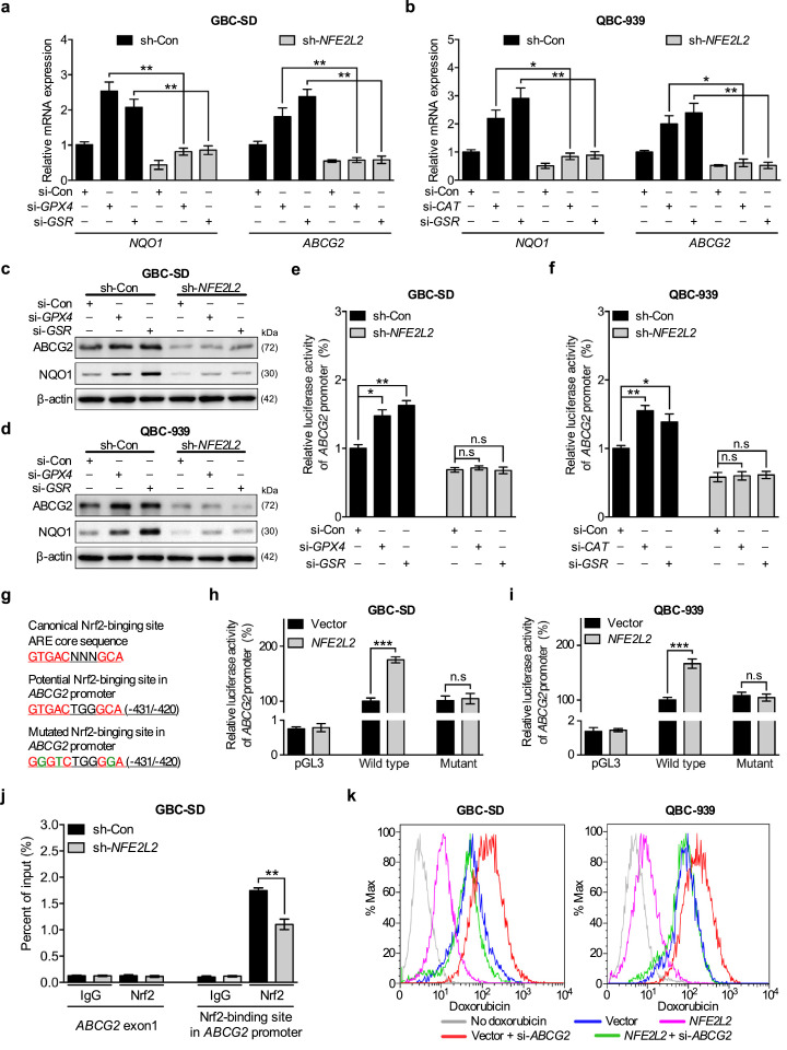 GPX4, CAT, and GSR regulate chemosensitivity through Nrf2-mediated ABCG2 expression. (a and b) qPCR analysis of ABCG2 and NQO1 mRNA expression in paired GBC-SD (a) and QBC-939 (b) cells transfected with or without siRNA of GPX4, GSR, CAT . n = 3; Bar, SEM. (c and d) Immunoblots of ABCG2 and NQO1 in paired GBC-SD (c) and QBC-939 (d) cells that expressed GPX4, GSR , or CAT targeting siRNAs or a scrambled siRNA. (e and f) ABCG2-promoter luciferase assay in paired GBC-SD (a) and QBC-939 (b) cells that were transfected with or without siRNA of GPX4, GSR, CAT . n = 3; Bar, SEM. (g) The canonical sequence of the Nrf2-binding site (top, red), a potential Nrf2-binding site at -431 bp to -420 bp in the proximal promoter region of the human ABCG2 gene (middle, red), and introduced point mutations (bottom, green) used to inactivate the potential ABCG2-binding site are shown. (h and i) Determination of luciferase activity using vector only, wild type or mutant ABCG2 promoter in different pairs of GBC-SD (h) and QBC-939 (i) cells. (j) ChIP analysis of paired GBC-SD (sh-Con and sh- NFE2L2 ) cells immunoprecipitated by anti-Nrf2 or IgG antibody followed by qPCR using 2 primer sets for the Nrf2-binding site in the ABCG2 promoter or ABCG2 exon 1, respectively. Data represent the percent of input. n = 3; Bar, SEM. (k) Doxorubicin efflux of paired GBC-SD (left) and QBC-939 (right) cells were detected by FACS. * P