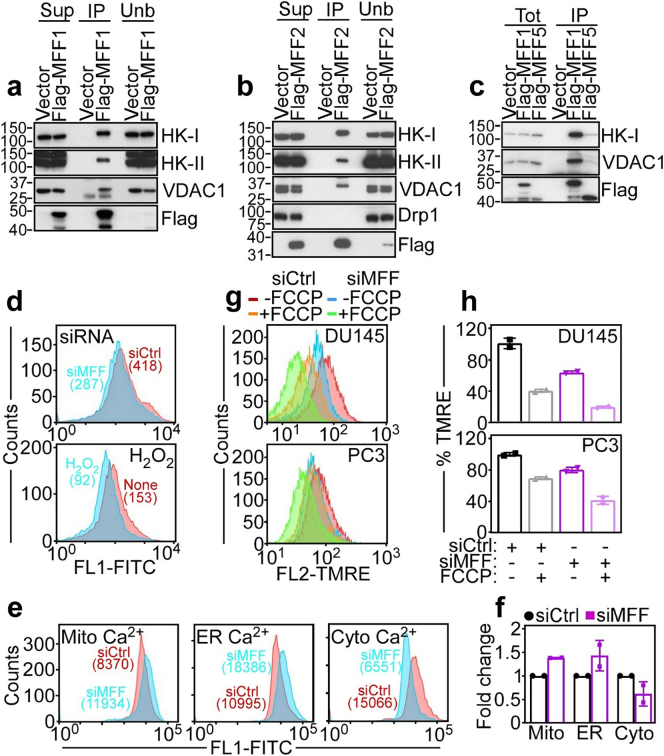 MFF regulation of mitochondrial outer membrane permeability. (a – c) PC3 cells were transfected with vector, Flag-MFF1 (a), Flag-MFF2 (b) or Flag-MFF5 (c), <t>immunoprecipitated</t> (IP) with an antibody to Flag and analysed by Western blotting. Sup, supernatant; Unb, unbound. (d) PC3 cells transfected with siCtrl or siMFF (top) or treated with H 2 O 2 (bottom) were labelled with calcein in the presence of CoCl 2 and analysed by flow cytometry. Numbers indicate fluorescence units per each condition. None, untreated. (e and f) PC3 cells transfected with siCtrl or siMFF were incubated with Fluoro3-AM and FLUO-5 N or, alternatively Rhod2-AM, and changes in mitochondrial (Mito)-, endoplasmic reticulum (ER)- or cytosolic (Cytosol)-associated Ca 2+ levels were determined by flow cytometry (e, representative experiment) and quantified (f). Numbers correspond to fluorescence units. Mean ± SD. (g) DU145 (top) or PC3 (bottom) cells were transfected with siCtrl or MFF-directed siRNA (siMFF) and analysed for mitochondrial inner membrane potential by TMRE staining and flow cytometry with or without suboptimal concentrations of the uncoupler, FCCP. Representative experiment ( n = 3). (h) The conditions are as in (g) and TMRE staining was quantified in siRNA-transfected DU145 and PC3 cells. Mean ± SD.