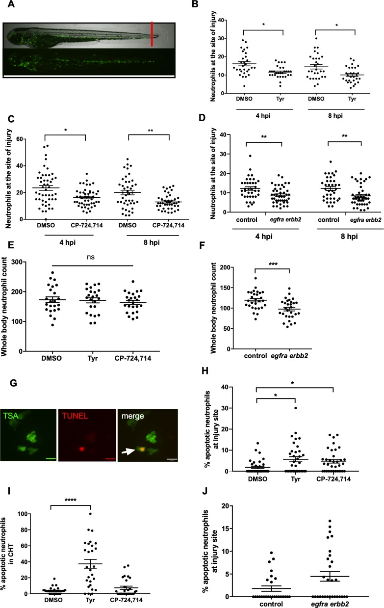 Pharmacological inhibition and genetic knockdown of egfra and erbb2 by CRISPR/Cas9 reduces neutrophil number at the site of injury in a zebrafish model of inflammation. Tail fin transection was performed as indicated by the red line ( A , upper image). Zebrafish larvae ( mpx :GFP) were pre-treated at two dpf with DMSO, tyrphostin AG825 [Tyr, 10 µM] ( B , minimum n = 28 larvae per condition), or CP-724714 [10 µM] ( C , minimum n = 42 larvae per condition) for 16 hr followed by injury. egfra and erbb2 crispants were generated and injured at two dpf ( D , minimum n = 36 larvae per condition). The number of neutrophils at the site of injury was determined at 4 and 8 hpi by counting GFP-positive neutrophils. To enumerate neutrophils across the whole body, uninjured inhibitor treated larvae (three dpf) ( E , minimum n = 23 larvae per condition) or crispants (two dpf) ( F , minimum n = 28 larvae per condition) were imaged by fluorescent microscopy (A, lower image). Apoptosis was measured at the site of injury after 8 hr by TSA and TUNEL double staining ( G ) (white arrow indicates TUNEL positive neutrophil, scale bar 10 μM) of mpx: GFP tyrphostin AG825 [Tyr, 10 µM] or CP-724714 [10 µM] treated larvae at three dpf ( H , minimum n = 35 larvae per condition). Uninjured inhibitor treated larvae were assessed for neutrophil apoptosis in the CHT at three dpf ( I , minimum n = 27 larvae per group). Apoptosis at the tail fin injury site of egfra erbb2 crispants at two dpf was also measured at eight hpi ( J , minimum n = 26 larvae per group). All data collated from at least three independent experiments, displayed as mean ± SEM. Each icon shows one data point from one individual larvae. Statistically significant differences were calculated by two-way ANOVA with Sidak post-test ( B–D ) or one-way ANOVA with Dunnett's post-test(E), Students' t-test ( F ), Kruskal-Wallis test with Dunn's post-test ( H–I ) or Mann-Whitney U test ( J ), and indicated as *p