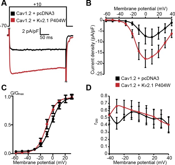 Cav1.2 channel activity is increased in cells coexpressing STAC1 upon coexpression with Kv2.1 P404W . ( A-D ) Data recorded from HEK293T cells transfected with Cav1.2-GFP and auxiliary subunits Cavβ3, Cavα 2 δ 1 , and STAC1, without (+pCDNA3, in black) or with Kv2.1 P404W (in red). ( A ) Representative Ca 2+ current traces at +10 mV. ( B ) Normalized I-V relationship of whole-cell I Ca recorded from n = 8 (Cav1.2 + pcDNA3) and n = 9 (Cav1.2 + Kv2.1 P404W ) cells. ( C ) Voltage-dependence of whole-cell Cav1.2 conductance G / G max . For the conductance-voltage relationships, the half-maximal activation voltage V 1/2 =1.6±2.0 [pcDNA3] vs. −9.5 ± 2.9 [+Kv2.1 P404W ] mV, p=0.0166; slope factor k = 8.8 ± 1.2 [pcDNA3] vs. 6.1 ± 0.6 [+Kv2.1 P404W ], p=0.0490; Student's t -test). ( D ) Comparison of r 250 values (fraction of peak current remaining after 250 ms of depolarization) at the indicated potentials.