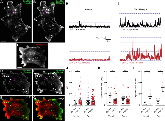 Kv2.1 P404W increases Cav1.2 single channel activity. ( A, B ) Maximum z -projections of TIRF images of Cav1.2-mediated Ca 2+ sparklets in a representative <t>HEK293T</t> cell transfected with Cav1.2 and auxiliary subunits and loaded with Fluo-5F via the patch pipette, before ( A ) and after ( B ) treatment with 500 nM Bay K8644 (scale bar: 5 µm). ( C ) Maximum z -projection of TIRF images of DsRed-Kv2.1 in a representative HEK293T cell cotransfected with Cav1.2 and auxiliary subunits (scale bar: 5 µm). ( D, F ) Maximum z -projections of TIRF images of sparklets in a representative HEK293T cell transfected with DsRed-Kv2.1, Cav1.2, and auxiliary subunits and loaded with Fluo-5F via the patch pipette, before ( D ) and after ( F ) treatment with 500 nM Bay K8644. ( E, G ) Merged images of panels C and D ( E ), or panels C and F ( G ). ( H ) Fluorescence intensity profiles of representative sparklets recorded in 20 mM external Ca 2+ in a control cell (upper panel, ROI depicted in A) or in a cell additionally expressing Kv2.1 (lower panel, ROI depicted in D). ( I ) Fluorescence intensity profiles of representative sparklets recorded in 20 mM external Ca 2+ and treated with Bay K8644 in a control cell (upper panel, ROI depicted in B) or in a cell additionally expressing Kv2.1 (lower panel, ROI depicted in F). ( J ) Summary data of sparklet site n P s measured from n = 6 cells expressing Cav1.2 alone and n = 7 cells coexpressing Cav1.2 and Kv2.1. Each point represents a single sparklet site (vehicle: *p=0.0367; Bay K: p=0.9224; two-tailed Mann-Whitney test). ( K ) Summary data of sparklet site nearest neighbor distance (NND) measured from n = 6 cells expressing Cav1.2 alone and n = 7 cells coexpressing Cav1.2 and Kv2.1. Each point represents a single sparklet site (vehicle: *p=0.0214; Bay K: p