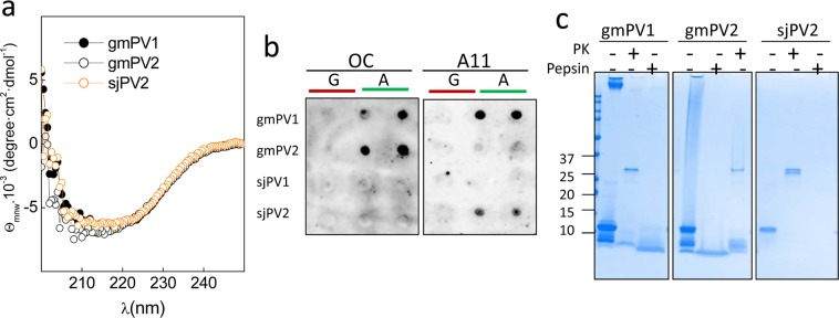Features of the amyloid aggregates formed by β-PV isoforms. ( a ) Far-UV CD spectra of the insoluble aggregates of gmPV1, gmPV2 and sjPV2. ( b ) Dot blot analysis of (A) β-PV aggregates using amyloid-specific anti-fibril (OC) and anti-oligomer (A11) antibodies. (G) Ca 2+ -bound chains were included as controls. ( c ) Coomassie blue-stained SDS-PAGE gel of the harsh proteinase K and pepsin digestions of gmPV1, gmPV2 and sjPV2 amyloid aggregates. The original membranes and gels of panels b and c are displayed in supplementary Fig. 6S .