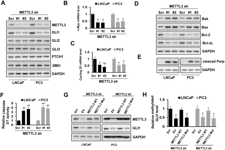 Effects of METTL3 depletion on SHH-GLI pathway and apoptosis. ( A )The protein level of SHH-GLI pathway was analyzed by Western blotting after METTL3 depletion. ( B, C ) The mRNA level of c-Myc and cycling D1 was analyzed by qRT-PCR. * P ˂ 0.05, ** P ˂ 0.01. ( D, E ) The protein level of Bak, Bax, Bcl-2, Bcl-xL, and cleaved PARP was analyzed by Western blotting after METTL3 depletion. ( F ) The relative caspase-3/7 activity was measured using Apo-One™ homogenous caspase-3/7 assay. ** P ˂ 0.01. ( G, H ) LNCaP and PC3 cells were transduced with Scr or METTL3 shRNA for 48 hrs followed by overexpression with wild type or mutant METTL3 plasmid for 24 hrs. GLI1 protein level was detected by Western blotting ( G ) and the methylated GLI1 mRNA level was analyzed by Me-RIP assay ( H ). * P ˂ 0.05.