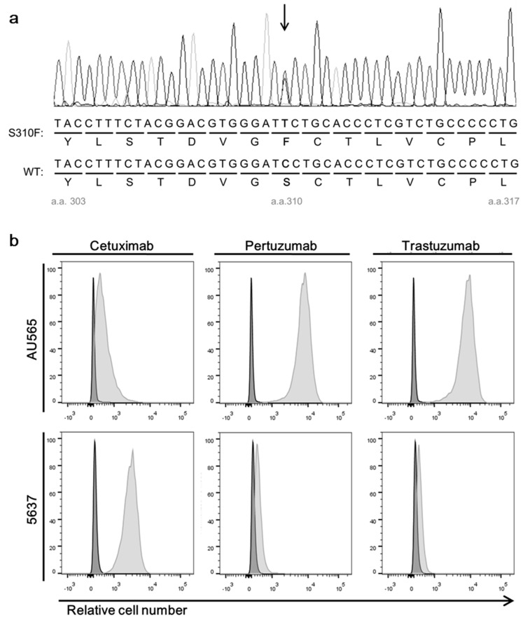 Expression of HER2 and epidermal growth factor receptor (EGFR) in 5637 and AU565 cells. ( a ) A representative sequence chromatogram showing the presence of two transcripts encoding wild-type HER2 and the S310F mutant in 5637 cells. ( b ) Flow cytometry analysis of two cancer cell lines assessing their reactivity to cetuximab, pertuzumab, and trastuzumab. The cells were incubated with individual antibody using the recombinant scFv-human Cκ fusion protein. The amount of bound antibody was determined using Allophycocyanin (APC)-labeled anti-human Cκ antibody.