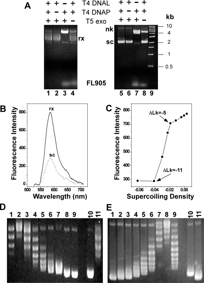 """(A) Effects of different enzymes on the production of rx and sc pAB1_FL905. rx (lanes 1–4) and sc (lanes 5–8) pAB1_FL905 were generated according to   Figure   1  and also as described in """"  Materials and Methods ."""" The DNA molecules were isolated and subjected to 1% agarose gel electrophoresis in 1× TAE buffer. Symbols and abbreviations: T4 DNAL, T4 DNA ligase; T4 DNAP, T4 DNA polymerase; T5 exo, T5 exonuclease; nk, nicked plasmid; sc, supercoiled plasmid; rx, relaxed plasmids; FL905, oligomer FL905. Lane 9 is the NEB 1 kb DNA ladder. (B) Fluorescence spectra of sc (σ = −0.06; dotted line) and rx (σ = 0; solid line) of pAB1_FL924 with λ ex  = 532 nm. (C) Fluorescence intensity of pAB1_FL924 is dependent of supercoiling density (σ). DNA topoisomeras with a mean ΔLk were generated as described under   Materials and Methods  and used here. The fluorescence intensity of the same concentration of pAB1_FL924 samples was measured using a microplate reader with λ ex  = 550 nm and λ em  = 580 nm. (D,E) Analysis of DNA topoisomers using 1% agarose gel electrophoreses in the absence (D) and presence of 2.5 μg/mL chloroquine (E) to determine the supercoiling density of different pAB1_FL924 samples. Lanes 1 to 9 are DNA samples relaxed by variola DNA topoisomerase I in the presence of 0, 0.5, 1, 1.5, 2, 2.5, 3.75, 5, and 7.5 μM of EB, respectively. Lanes 10 and 11 are supercoiled and relaxed pAB1, respectively."""