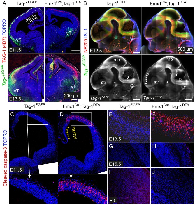 Emx1 Cre -mediated recombination in Tag-1 loxP − EGFP − loxP − DTA embryos results in EGFP removal and neocortical cell death during stages E11.5 to E13.5. (A) Immunofluorescence against EGFP and TAG-1 in in Tag-1 EGFP and Emx1 Cre ;Tag-1 DTA mice at E11.5 and E13.5. Note the lack of recombination at the ventral telencephalon (vT). (B) Whole mount immunofluorescence against EGFP, neurofilaments and ISL1 in control and double transgenic mice at E12.5 shows the selective EGFP switch-off in the dorsal telencephalon (see white arrowheads). Note that sensory ganglia (ISL1+, shown by asterisks) remain unaffected upon Emx1 Cre -mediated recombination. (C–J) Immunofluorescence against cleaved caspase-3 (reflecting cell death) in in Tag-1 EGFP and Emx1 Cre ;Tag-1 DTA mice at E11.5 to P0. RMTW, rostromedial telencephalic wall, vT, ventral telencephalon, mb, midbrain, m, medulla, p, pons, str, striatum.