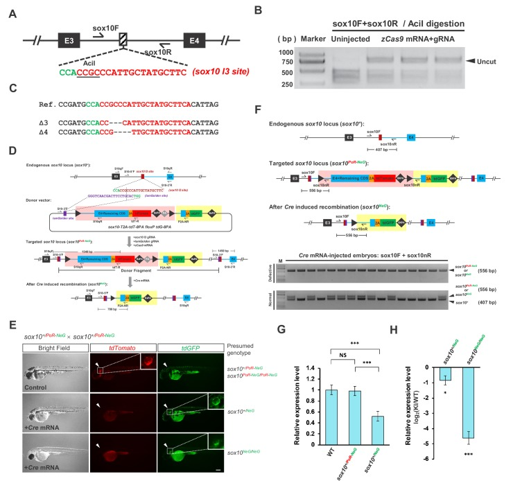 Generation and evaluation of the sox10 geno-tagging allele. ( A ) The position and sequence of the sox10 intron 3 (I3) target site designed for the Cas9/gRNA system. The protospacer sequence is shown in red, and the PAM is shown in green. ( B ) Targeting efficiency evaluated by PCR and AciI restriction endonuclease digestion. The result indicates that the indel efficiency is nearly 85%. ( C ) Sequencing results of the uncut PCR products (corresponding to indel mutations) from B after cloning. ( D ) The donor design and geno-tagging KI strategy at the sox10 locus. Primers S10qF and S10qR are used for qRT-PCR in G and H. ( E ) Phenotype analysis of the 48 hpf F 2 embryos from the incrossing of sox10 +/PoR-NeG heterozygotes (derived from #6 F 0 ) after the injection of Cre mRNA at the one-cell stage. The upper panel shows an uninjected control embryo bearing red fluorescent signals with normal pigmentation, whose genotype should be either sox10 +/PoR-NeG or sox10 PoR-NeG/PoR-NeG . The middle panel represents one Cre -injected embryo showing slightly less pigmentation but with only green fluorescent signals, indicating an efficient switch to the expression of tdGFP from that of tdTomoto after Cre injection; therefore, the genotype should be sox10 +/NeG . The lower panel shows a Cre -injected embryo devoid of body pigmentation that faithfully recapitulates the expected phenotype of the sox10 loss-of-function mutation. Similar to the previous embryo, this embryo shows only green fluorescent signals due to the Cre -induced efficient switch of the expression of the fluorescent reporter gene; therefore, the genotype is most likely tbx5a NeG/NeG . The white arrowheads indicate otic vesicles, whose detailed structure can be seen under higher magnification of the boxed areas. Scale bar, 200 μm. ( F ) Genotyping results of the injected F 2 embryos in E determined via 5' junction PCR analysis. Since all the defective embryos showed only green (tdGFP) and no red (tdTomoto) fluores