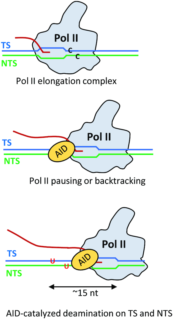 A model for AID putative access to the NTS and TS during Pol II transcription. Sketch of how AID might interact with dC residues on both the TS or NTS to convert C → U. Pol II has been observed to pause and to backtrack during transcription elongation. We propose that paused or backtracked Pol II interacts with AID at the upstream edge of the transcription bubble where the TS and NTS strands exit the polymerase, as inferred from structural studies of Pol II elongation complexes. In this model, AID can interact with dC residues on both the TS or NTS to convert C → U. Structural and single-molecule resolution transcriptional data suggest that AID could have access to about a 15 nt region of transient ssDNA, corresponding to a stalled transcription bubble (∼10 nt) and perhaps an additional region of ssDNA resulting from a backtracked Pol II (∼5 nt).