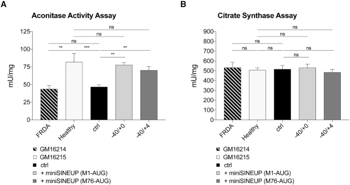 Rescue of aconitase defects in FRDA patient-derived lymphoblasts . ( A, B ) The effect of miniSINEUP-FXN expression on aconitase activity was measured on whole cells lysates. GM16214 cells expressing miniSINEUP-FXN showed restored activity of endogenous aconitase as compared to GM16215 positive control. Aconitase ( A ) and citrate <t>synthase</t> ( B ) activities are expressed as mU/mg ratio. Citrate synthase assay is used as an internal control. Columns represent mean ± S.E.M. ( n ≥ 4) of mU/mg values; ns, P > 0.05; * P