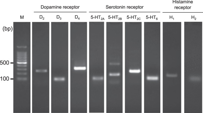 mRNA expression of dopamine (D 2 , D 3 , and D 4 ), serotonin (5-HT 2A , 5-HT 2B , 5-HT 2C , and 5-HT 6 ), and histamine (H 1 and H 2 ) receptors in HIT-T15 cells. Total RNA extracted from HIT-T15 cells was reverse-transcribed, and first-strand cDNA was synthesized. Target genes were amplified with a set of specific primers (shown in Table 2 ). For expression analysis of dopamine D 3 and D 4 , all serotonin, and histamine H 2 receptors, two-step PCR was performed using nested primers (shown in Table 2 ). PCR products were separated by electrophoresis using a 2% agarose gel and stained with ethidium bromide. M, 100-bp ladder size marker.