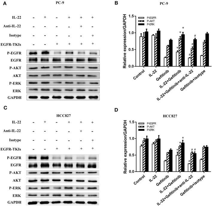 IL-22 promoted activation of the phosphorylated EGFR/AKT/ERK in NSCLC cells. (A) PC-9 and (C) HCC827 cells were incubated in the presence or absence of gefitinib (IC50) for 3 h prior to exposure to 50 ng/ml IL-22 (+/−), 10 4 ng/mL IL-22 neutralizing antibody (+/−) and mouse IgG 1 Isotype control (+/−) for additional 24 h, and the protein samples were analyzed by western blot with indicated antibodies. (B) PC-9 and (D) HCC827 cells densitometric analysis of western blots for the phosphorylated protein. * P