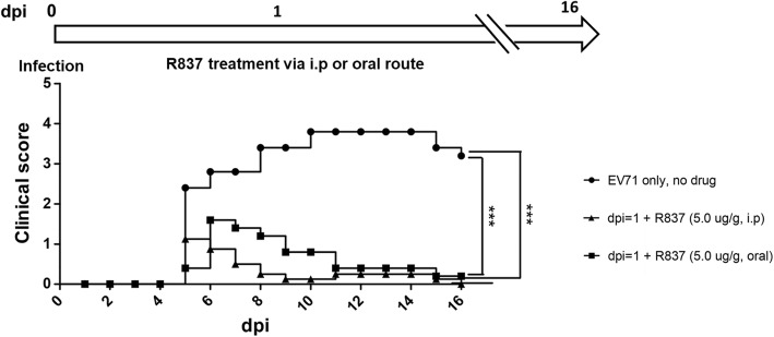 TLR7 agonist R837 rescued mice from paralysis and death efficiently after viral infection. Upper panel: A schematic diagram of R837 treatment via an oral or i.p. route after EV-A71 infection. Lower panel: Mice were treated with or without R837 (5.0 μg /g of mouse) at dpi = 1. Significant reduction in clinical score was observed only in the two groups treated with R837. *** p