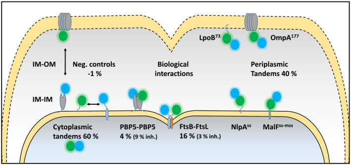 Schematic overview showing the subcellular localization of the periplasmic protein interactions and controls assayed with the sfTq2 ox ‐mNG FRET pair. PBP5 dimerization interactions were assayed with sfTq2‐mNG. Inh. refers to the inactive mutants PBP5 S44G , FtsB m4 and FtsL m4 . A full list of Ef A values is shown in Table 1 .