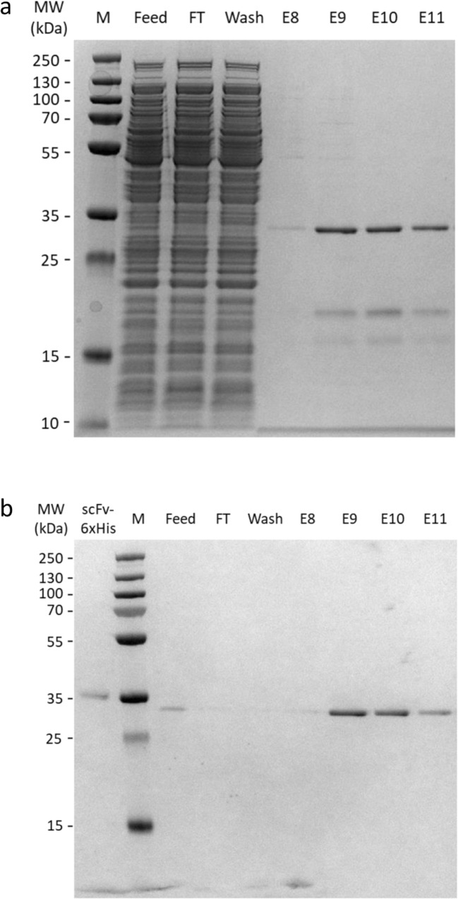 SDS-PAGE and Western blot analysis of antibody affinity chromatography purification of PGT135 scFv. Analysis of feed, flow-through (FT), wash, and elution fractions 8–11 (E8–E11) of an affinity chromatography run using Capto-L for purification of PGT135 scFv antibody fragment from the soluble protein fraction of E. coli BL21 cells expressing PGT135 scFv from pSAR-2 vector. a Representative SDS-PAGE gel showing total protein in different analyzed fractions and PGT135 scFv antibody with an expected band size of 29 kDa. Elution fractions show highly enriched PGT135 scFv after purification. b Representative western blot with HRP–Protein L binding to PGT135 scFv in different analyzed fractions. In the first lane, 2.8 μg of commercially available His-tagged PGT135 scFv (scFv-His 6 xHis) is included for semi-quantification. PGT135 scFv is clearly visible and semi quantified in feed and elution fractions