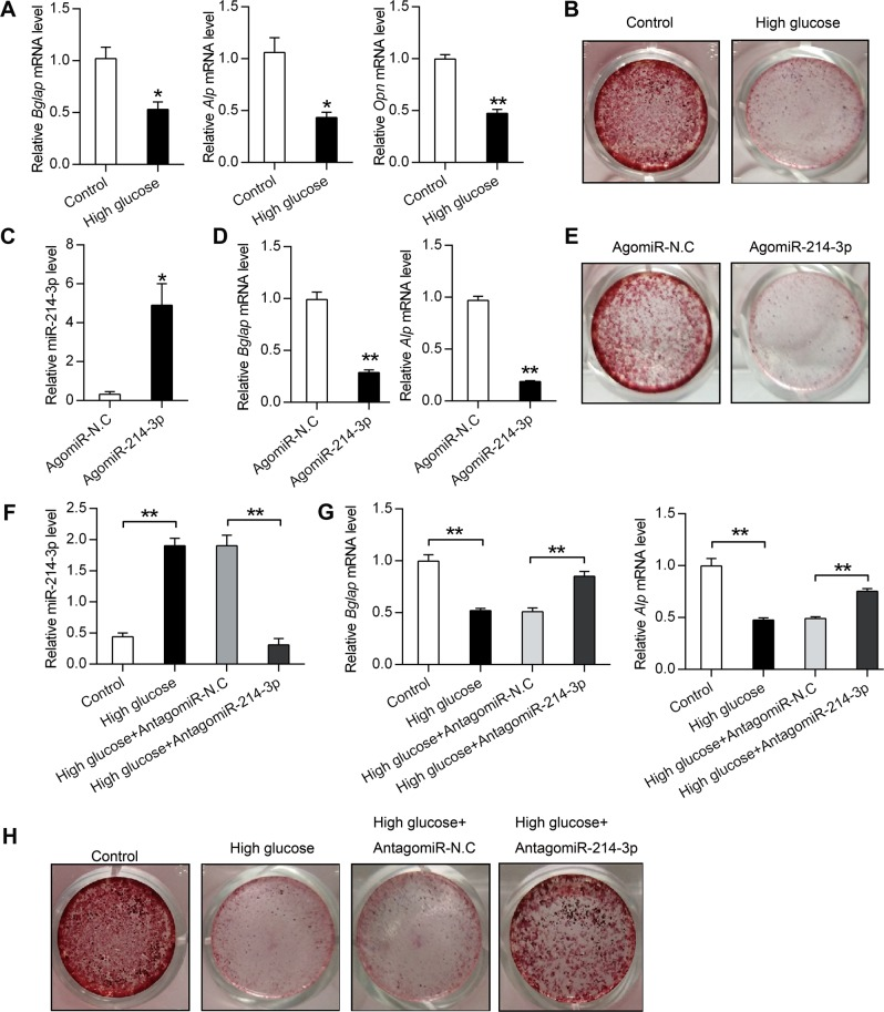 High-glucose-induced miR-214-3p inhibits BMSCs osteogenic differentiation. a qRT-PCR analysis of Bglap , Alp , Opn in BMSCs after treatment with high glucose for 3 weeks ( n = 3). b Alizarin red staining of calcium deposition in BMSCs after treatment with high glucose for 3 weeks. c , d qRT-PCR analysis of miR-214-3p, Bglap and Alp mRNA levels in BMSCs after treatment with 200 μM AgomiR-214-3p or AgomiR-N.C in osteogenic medium for 3 weeks ( n = 3). e Alizarin red staining of calcium deposition in BMSCs after treatment with 200 μM AgomiR-214-3p or AgomiR-N.C in osteogenic medium for 3 weeks. f , g qRT-PCR analysis of miR-214-3p, Bglap and Alp mRNA levels in BMSCs after treatment with high glucose together with or without 200 μM AntagomiR-214-3p and AntagomiR-N.C for 3 weeks ( n = 3). h Alizarin red staining of BMSCs after treatment with high glucose together with 200 μM AntagomiR-214-3p or AntagomiR-N.C for 3 weeks. All data are expressed as mean ± SEM, * p