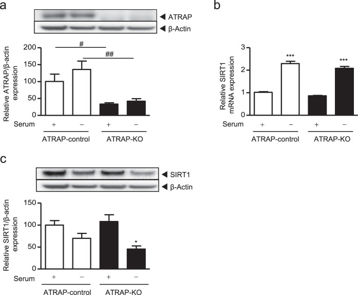 Effect of ATRAP knockout generated using CRISPR-CAS9 on SIRT1 mRNA and protein expression levels under serum-starvation. ATRAP-KO (ciRPTEC expressing CAS9 and gRNA targeted towards ATRAP) or ATRAP-control (ciRPTEC expressing only CAS9) cells were cultured with or without serum for 24 hours. ( a,c ) The relative protein expression of ATRAP and SIRT1 in the ciRPTEC was determined by western blot analysis, normalized to β-actin expression. Protein levels of ATRAP-control with serum (+) were set to 100. ( b ) The relative mRNA levels of SIRT1 in the ciRPTEC was determined by RT-qPCR, normalized to 18 S ribosomal RNA. The mRNA level of ATRAP-control with serum (+) was set to 1. All data were obtained with three biologically independent experiments. Values represent the means ± standard error. All data were analysed by two-way ANOVA. ( a ) # p