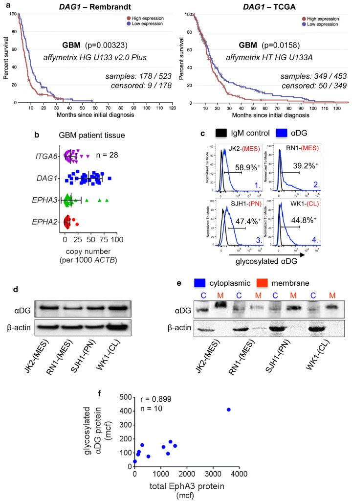 Elevated Dystroglycan Correlates with GBM Patient Outcome and αDG is Abundantly Glycosylated in GBM. a DAG1 expression was correlated with GBM patient survival using the Rembrandt ( n = 523) and TCGA ( n = 453) databases. b QPCR analysis of DAG1, ITGA6, EPHA2 and EPHA3 mRNA expression in GBM tissue specimens ( n = 28). c Flow cytometric analysis for αDG glycosylation (IIH6 mAb) was performed on primary GBM cell lines grown as serum-free GNS cultures, compared to isotype control. See also Online Research 1d for full analysis. d αDG glycosylation was assessed by western blot in four primary GBM cell lines. e αDG glycosylation was assessed by western blot following cell fractionation to compare cytoplasmic versus membrane localisation. β-actin was used as a loading control. f Flow cytometric analysis was performed for αDG glycosylation (IIH6 mAb) and EphA3 (IIIA4 mAb) in 10 early passage primary GBM cultures, mean channel fluorescence (mcf) was used to determine the correlation coefficient between EphA3 and glycosylated αDG ( r = 0.899). GBM subtypes: MES mesenchymal, PN proneural, CL classical