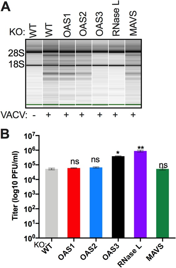 Activation of RNase L during vaccinia virus infection of RoNi/7 cells requires OAS3 expression and is independent of MAVS expression. (A) WT and KO RoNi/7 cells were infected with VACVΔE3L (MOI = 1 PFU/cell), and at 6 h postinfection cells were lysed and RNA integrity was assessed on a Bioanalyzer. The positions of 18S and 28S rRNA are indicated. The data are from one representative of two independent experiments. (B) Cells were infected in triplicate with VACVΔE3L (MOI = 1 PFU/cell); at 42 h postinfection, the cells were freeze-thawed three times; and infectious virus titers were determined by plaque assay on <t>BHK-21</t> indicator cells. The viral titer data are from one of four independent experiments and expressed as means ± SDs (*, P