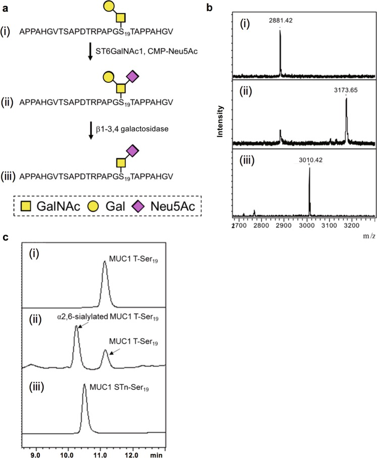 Enzymatic synthesis of MUC1 STn-Ser 19 . ( a ) Schematic representation of the synthesis. ( b ) MALDI-TOF MS analysis. ( c ) HPLC analysis. Within each figure, (i), (ii) and (iii) correspond to MUC1 T-Ser 19 , α2,6-sialylated MUC1 T-Ser 19 (in reaction mixture) and MUC1 STn-Ser 19 (in reaction mixture), respectively. The final reaction with β1-3,4 galactosidase was performed on the purified α2,6-sialylated MUC1 T-Ser 19 .